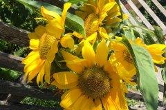 sonnenblumen-linder